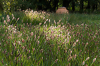 Pennisetum massiacum, 'Red Bunny Tails' flowering grass groundcover lawn substitute, backlit in meadow garden, John Greenlee design