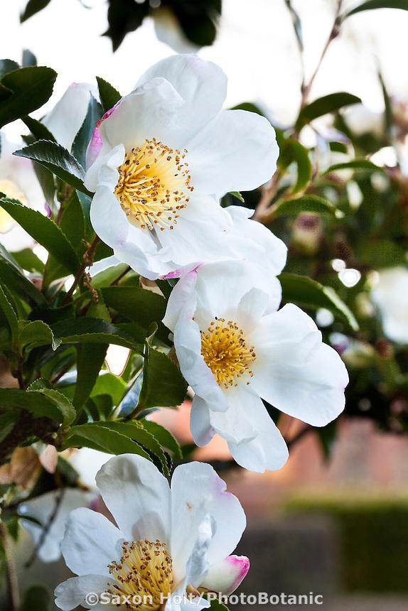 Winter flowering evergreen shrub, white flower Camellia sasanqua 'Narumi-Gata'