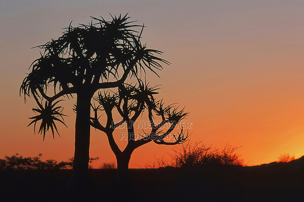 Quiver tree, Kokerboom (Aloe dichotoma), trees at sunset, Namibia, Africa
