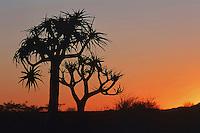 Quiver tree, Kokerboom (Aloe dichotoma), trees at sunset, Namibia, Africa