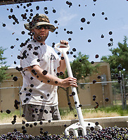 erath  160436 8/30/09- Wine maker Todd Comstock (CQ) watches as grapes fall into a bin after going through a destemer at Dos Cabezas WineWorks (CQ) in Sonoita, Ariz. (Pat Shannahan/ The Arizona Republic)
