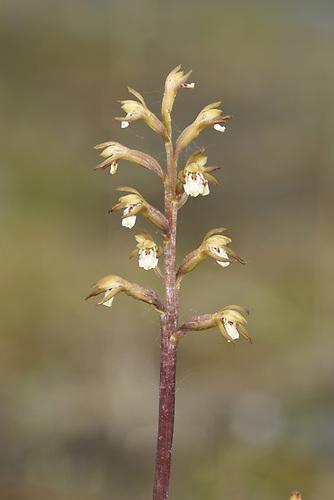 Coralroot Orchid - Corallorhiza trifida