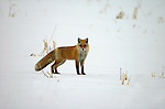 Red Fox in snow, Vulpes vulpes schrencki, Hokkaido, alert, looking, bushy tail, fur.Japan....