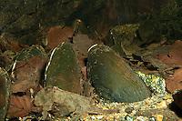 Flussperlmuschel, Flußperlmuschel, Flußperl-Muschel, Margaritifera margaritifera, freshwater pearl mussel, eastern pearlshell