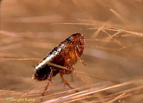 SG04-012b   Flea on mammal host hair.