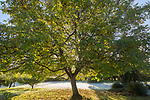 Early morning sun shining through leaves of walnut tree with frost on grass lawn in ruralgarden, Wiltshire, England, UK