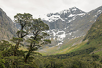 Beech trees with Gertrude Valley and Darran Mountains behind, Fiordland National Park, UNESCO World Heritage Area, Southland, New Zealand, NZ