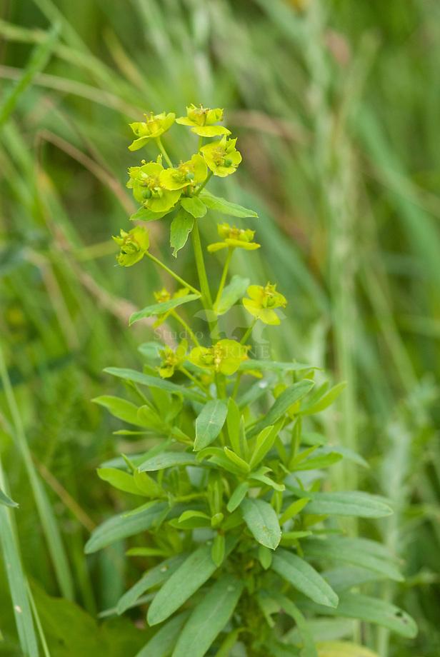 Heksenmelk s.l. (Euphorbia esula)