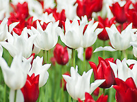 Red and white tulips grace some of the formal garden areas by the visitor center at the Morton Arboretum, in DuPage County, Illinois