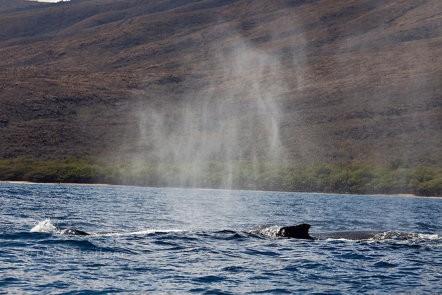 When a humpback whale, Megaptera novaeangliae, exhales, the blow can exit the whale at 150 - 300 miles per hour.  The sea water on it's blowhole is vapourized and shot 20 to 25 feet into the air creating the ?blow?, or spout. On a calm day this can hang in the air for quite some time and makes the location of the whale visible from several miles away. Hawaii.