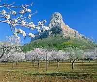 Spain, Mallorca: Landscape in Spring with Almond Blossom | Spanien, Mallorca: Mandelbluete