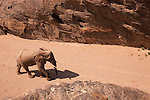 Namibia;  Namib Desert, Skeleton Coast,  desert elephant (Loxodonta africana) walking through canyon in dry river bed