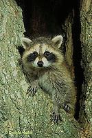 MA21-013x  Raccoon in tree hole Procyon lotor.