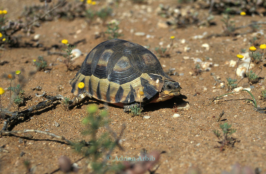 A native  tortoise in the Namib Naukluft diamond desert. This area is owned by De Beers and is completely restricted. It is said that diamonds can be found lying around on the surface of the ground but the high level of  protection favours many native species.