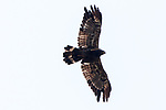 Crowned Hawk Eagle