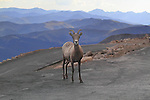 Bighorn sheep, female ewe (Ovis canadensis) on the Mount Evans road (14250 feet), Rocky Mountains, west of Denver, Colorado, USA Private photo tours to Mt Evans. .  John leads private, wildlife photo tours throughout Colorado. Year-round.