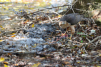 A Sunday morning walk through Green Cay Wetlands, Boynton Beach, Florida, brought a totally unexpected photographic surprise. A Cooper's Hawk killed a Moorhen and was eating it.