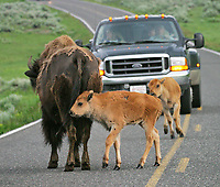 Bison cross the road in the Lamar Valley.