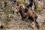Bighorn sheep ram in rut. Western Montana.
