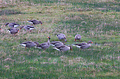 Greylag Goose (Anser anser) Group grazing on wet grasslands. This species is the ancestor of domesticated geese in Europe and North America.