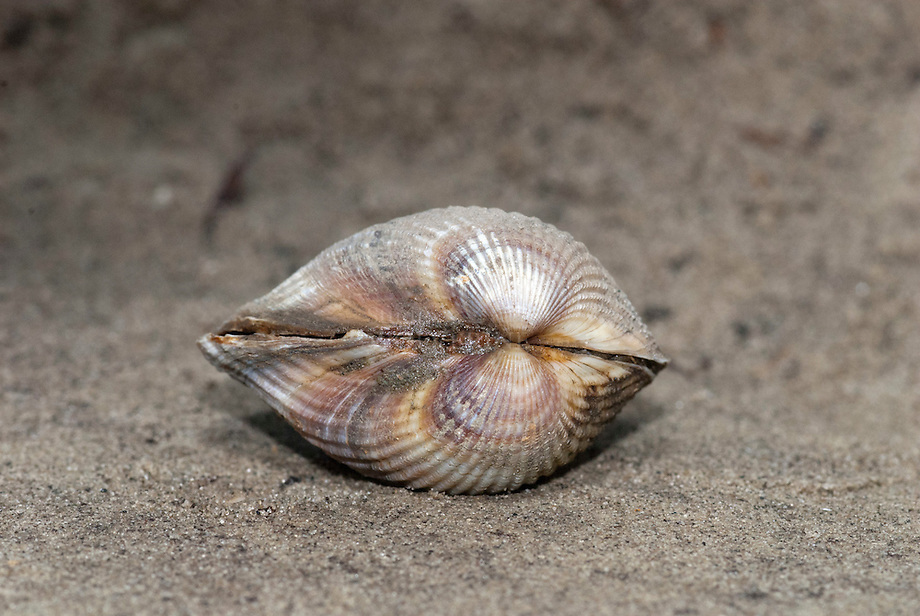 Brakwaterkokkel (Cerastoderma glaucum)