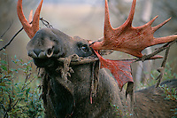 European Elk / Moose bull shedding his velvet, Alces alces, Sarek National Park, Laponia World Heritage area, Norrbotten, Lapland, Sweden