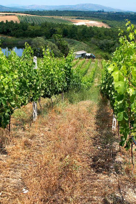 Vineyard. Merlot. Kir-Yianni Winery, Yianakohori, Naoussa, Macedonia, Greece
