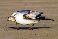 First summer ring-billed gull in early April
