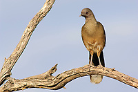 Adult Plain Chachalaca (Ortalis vetula) in a tree. Starr County, Texas. March.