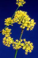 Kornelkirsche, Kornel-Kirsche, Kornellkirsche, Kornell-Kirsche, Blüten, Cornus mas, Cornelian Cherry
