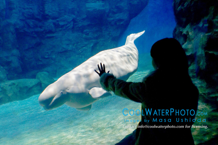 aquarium visitor observing beluga or white whale, Delphinapterus leucas, Arctic and Subarctic Ocean (c) (MR)