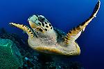 Hawksbill turtle, Eretmochelys imbricata, Bonaire.