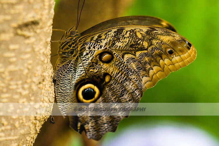 """A butterfly rests on a tree in summer in the annual indoor """"Wings of Fancy"""" live butterfly exhibit at Brookside Gardens in Wheaton, Maryland."""