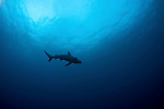 Galapagos Sharks (Carcharhinus galapagensis) are in abundance at the Kermadecs.