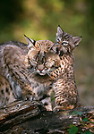 Bobcat with kitten, Bob Marshall Wilderness, Montana