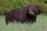 Chocolate coloured Grizzly Bear with a mouth full of grass
