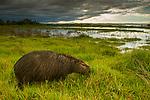 Capybara (Hydrochoerus hydrochaeris) male grazing in marsh, Ibera Provincial Reserve, Ibera Wetlands, Argentina
