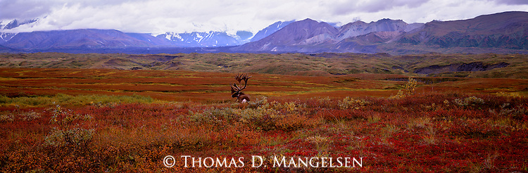 A caribou rests among the fall color tundra of Denali National Park, Alaska.