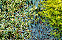 Spike foliage of grass, Helictotrichon sempervivens, Blue Oat Grass in garden with variegated Osmanthus heterophyllus 'Aureomarginatus'.  Credit Freeland Tanner