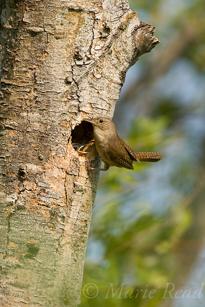 House Wren (Troglodytes aedon) outside its nest cavity, nestling looking out, Ithaca, New York, USA