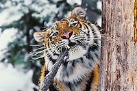 Siberian Tiger (Panthera tigris) biting tree branch.