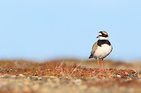 Male Common Ringed Plover (Charadrius hiaticula) on its breeding grounds in Russia. Chukotka, Russia. June.