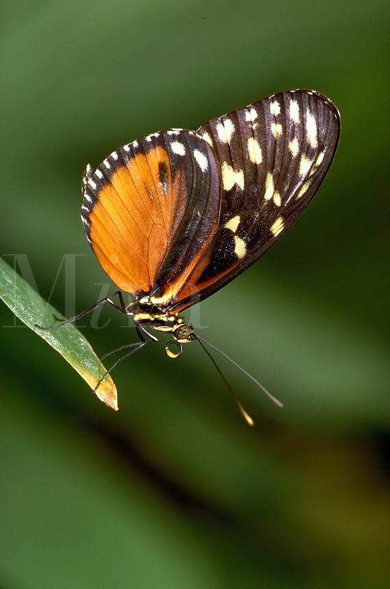 HELICONIUS HECALE, a longwing butterfly,     subfamily - Heliconiinae;  family - Nymphalidae; order - Lepidoptera;      class - Insecta;    phyllum - Arthropoda;     kingdom - Animalia. NEW ORLEANS LOUISIANA USA AUDUBON ZOO.