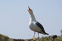Heringsmöwe, rufend, schreiend, Herings-Möwe, Heringsmöve, Möwe, Larus fuscus, Lesser Black-backes Gull, Goéland brun