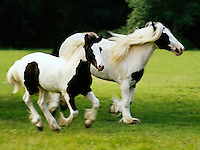 Gypsy Vanner Horse mare and foal.