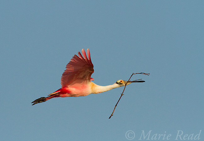 Roseate Spoonbill (Ajaia ajaja) in flight carrying a stick as nest material, Tampa Bay, Florida, USA