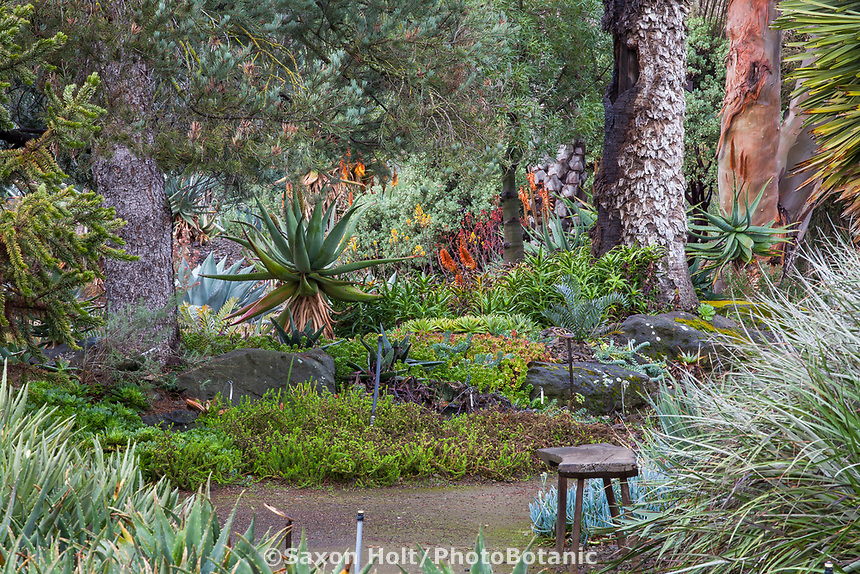 Succulents by path among Palms, The Garden Conservancy Ruth Bancroft Garden