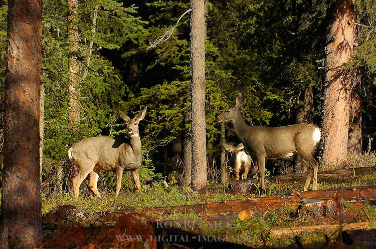 Mule Deer, Northeast Entrance, Yellowstone National Park, Wyoming