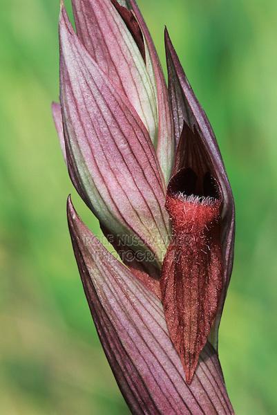 Tongue Orchid, Serapias vomeracea, blossom, Samos, Greek Island, Greece, Europe
