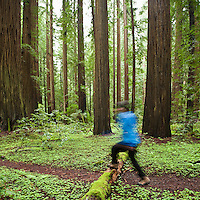 Person hikes along forest trail, Humbolt Redwoods state park, California